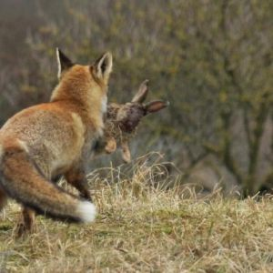 Fox eating rabbit