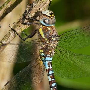 The Migrant Hawker, de paardenbijter!