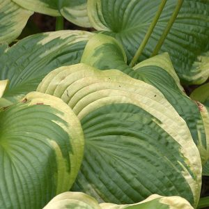 The Turning of the Hosta Leaves