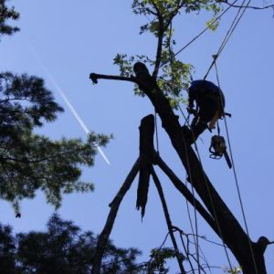 Felling of Trees - A Climber at Work