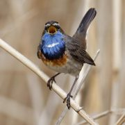 White-Spottet Bluethroat