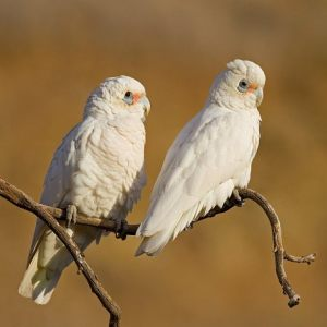 Birds of South Australia